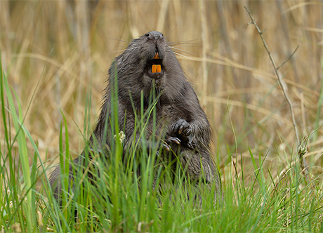 Supermocne szkliwo bobrów inspiracją dla naukowców
