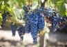 Winogrona sposobem na zwiększenie trwałości wypełnień?