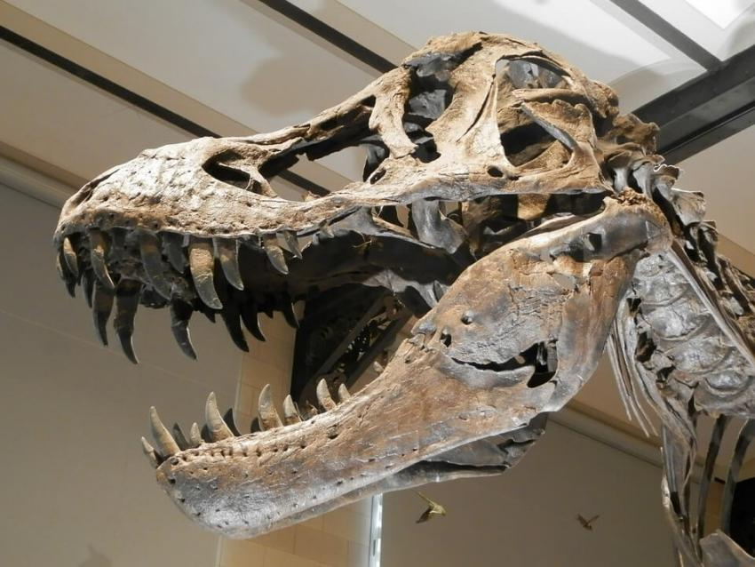 """""""Current Biology"""": niektóre dinozaury też traciły zęby mleczne"""