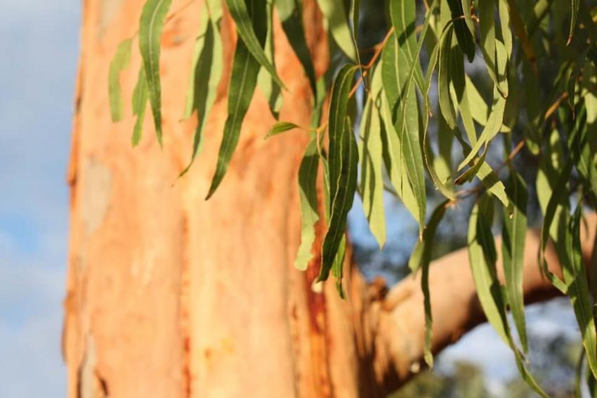 Eukaliptus i jego wpływ na zdrowie jamy ustnej oraz zębów