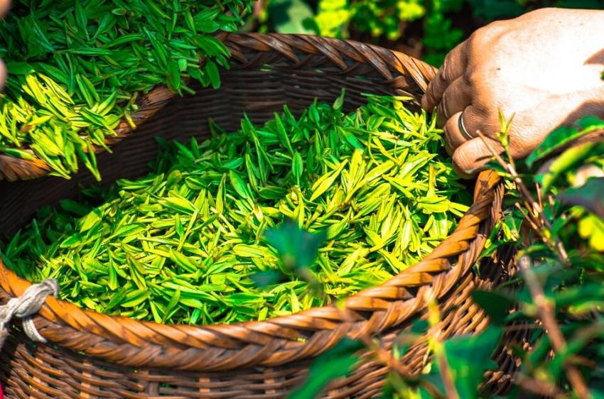 Miswak i zielona herbata – kolejny sposób na płytkę nazębną