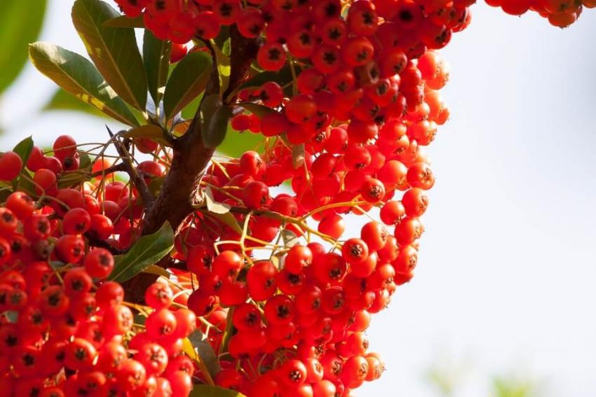 Rokitnik – nieznane źródło witaminy C i związków mineralnych