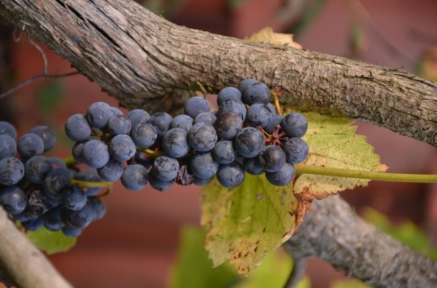 Sok winogronowy może powodować kwasową erozję szkliwa