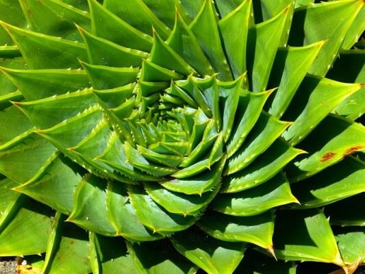 Aloes bardzo korzystny dla zdrowia zębów i jamy ustnej