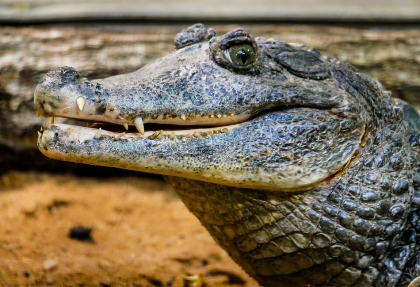 Badania aligatorów pomogą pobudzić odrastanie zębów u ludzi?