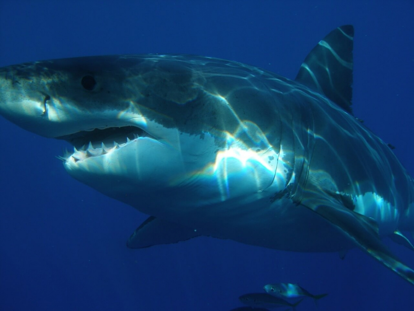 Na plaży w Australii znaleziono zęby prehistorycznego rekina