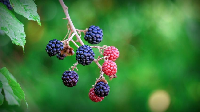 Fińskie rośliny receptą na superbakterie odporne na antybiotyki?
