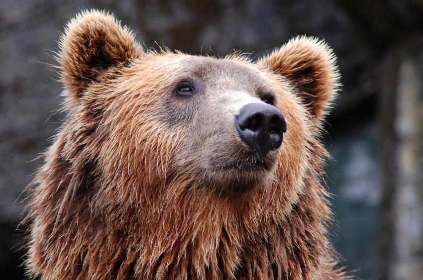 Stomatolog Paul Cassar usunął zęby cierpiącemu niedźwiedziowi