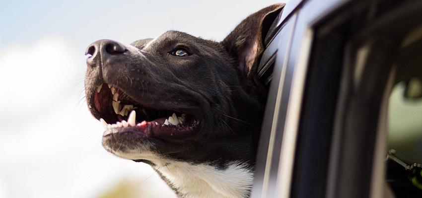 Choroby przyzębia u ponad 80% … psów. Powodem – zbyt twarde zabawki