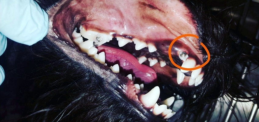 Leczenie ortodontyczne zatrzymanego kła u rocznego psa