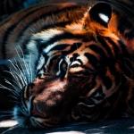 tygrys - Dentonet.pl