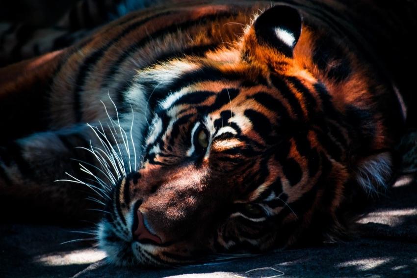Tygrysica Cara z niemieckiego ZOO z nowym złotym zębem