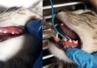 Młodzieńcze zapalenie dziąseł kotów