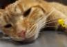 Bolesność jamy ustnej przyczyną problemów behawioralnych u kota?