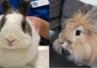Badanie stomatologiczne i radiografia u ... królików