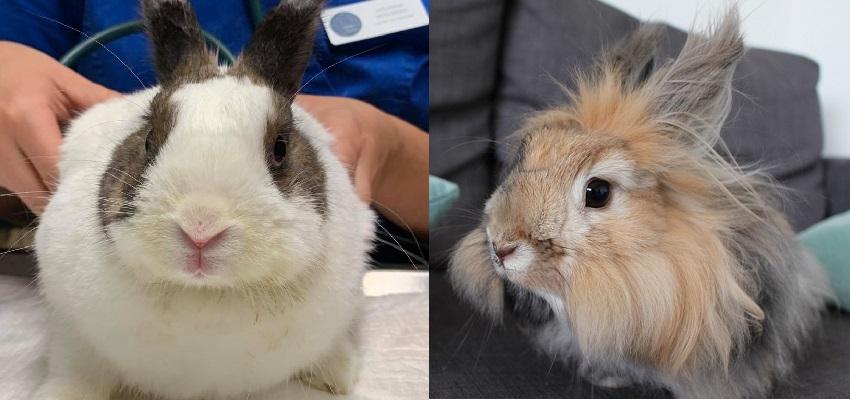 Badanie stomatologiczne i radiografia u … królików