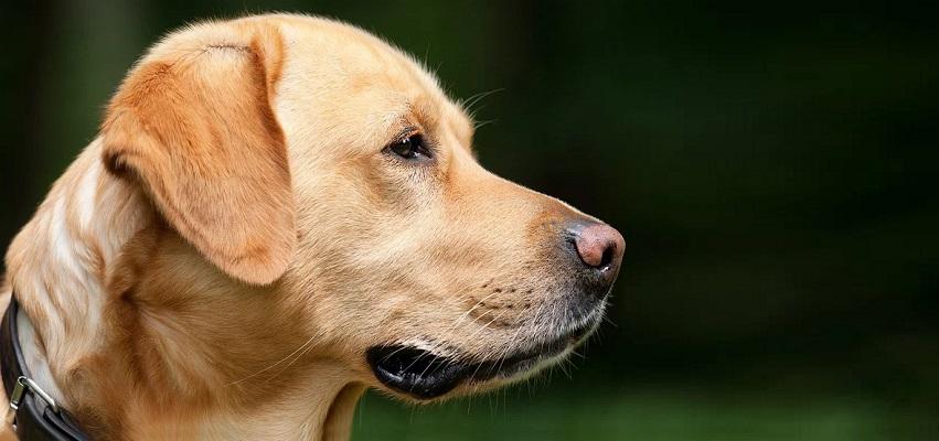 Amelogenesis imperfecta u psów modelem do badań nad chorobą u ludzi